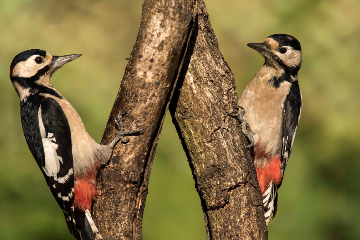 Pair of Great spotted woodpeckers by Keith Brooks 2-10-16